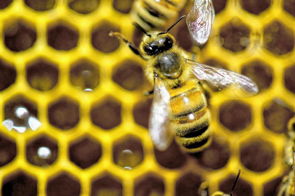 FILE - In this Jan. 28, 2014, file photo, a hive of honey bees is on display at the Vermont Beekeeping Supply booth at the 82nd annual Vermont Farm Show at the Champlain Valley Expo in Essex Jct., Vt. Since April 2014, beekeepers lost 42.1 percent of their colonies, the second highest loss rate in nine years, and then managed to recover a bit, according to an annual survey conducted by a bee partnership that includes the U.S. Department of Agriculture.  (AP Photo/Andy Duback, File) - ANDY DUBACK   FR155085 AP