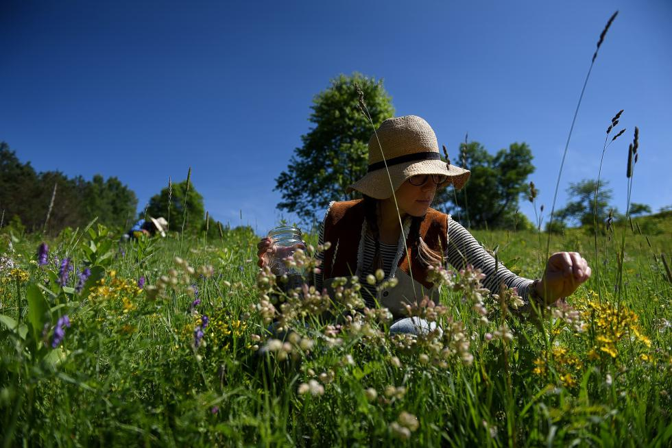 Taylor Katz of Free Verse Farm picks St John's wort flowers and puts them in olive oil at the farm in Chelsea, Vt., on July 2, 2015. Behind her, her husband, Misha  Johnson, picks as well. The flowers are picked in the morning just as the dew is evaporating. (Valley News - Jennifer Hauck) <p><i>Copyright © Valley News. May not be reprinted or used online without permission. Send requests to permission@vnews.com.</i></p> - Jennifer Hauck | Valley News