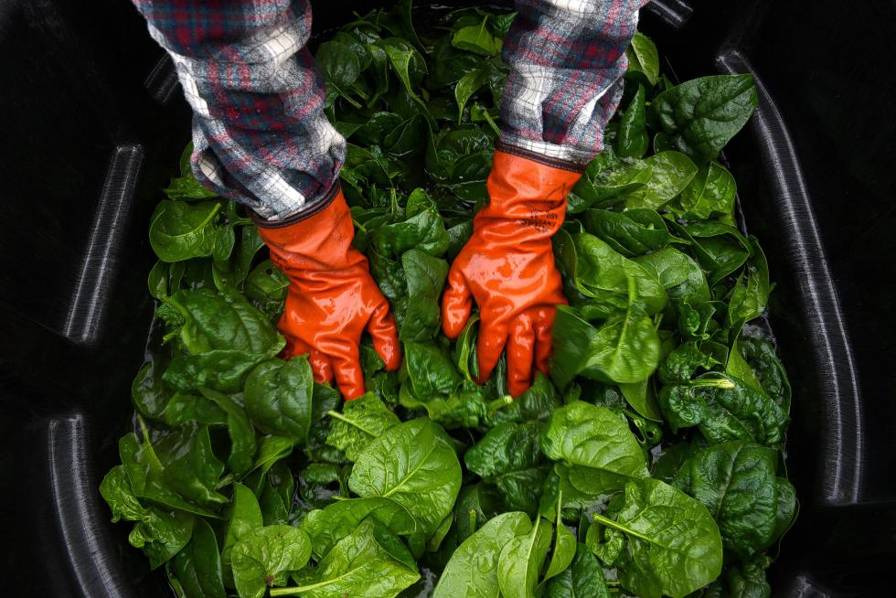 Jennica Stetler washes 30 pounds of spinach harvested at Sunrise Farm Thursday monrning, December 10, 2015. As the plant's growth slows with less daylight, sugars concentrate in the leaves, giving the greens an extra sweetness, said Stetler who snacked on a stray piece of spinach before packing it for sale at the Upper Valley Co-op. (Valley News - James M. Patterson) <p><i>Copyright © Valley News. May not be reprinted or used online without permission. Send requests to permission@vnews.com.</i></p> - James M. Patterson | Valley News