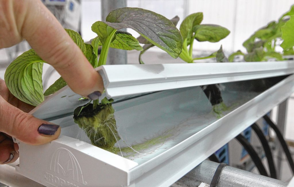 Roots appear on a tomato seedling at a commercial greenhouse that uses hydroponics, a growing method that uses an inert growing medium and nutrient-enriched water rather than soil.