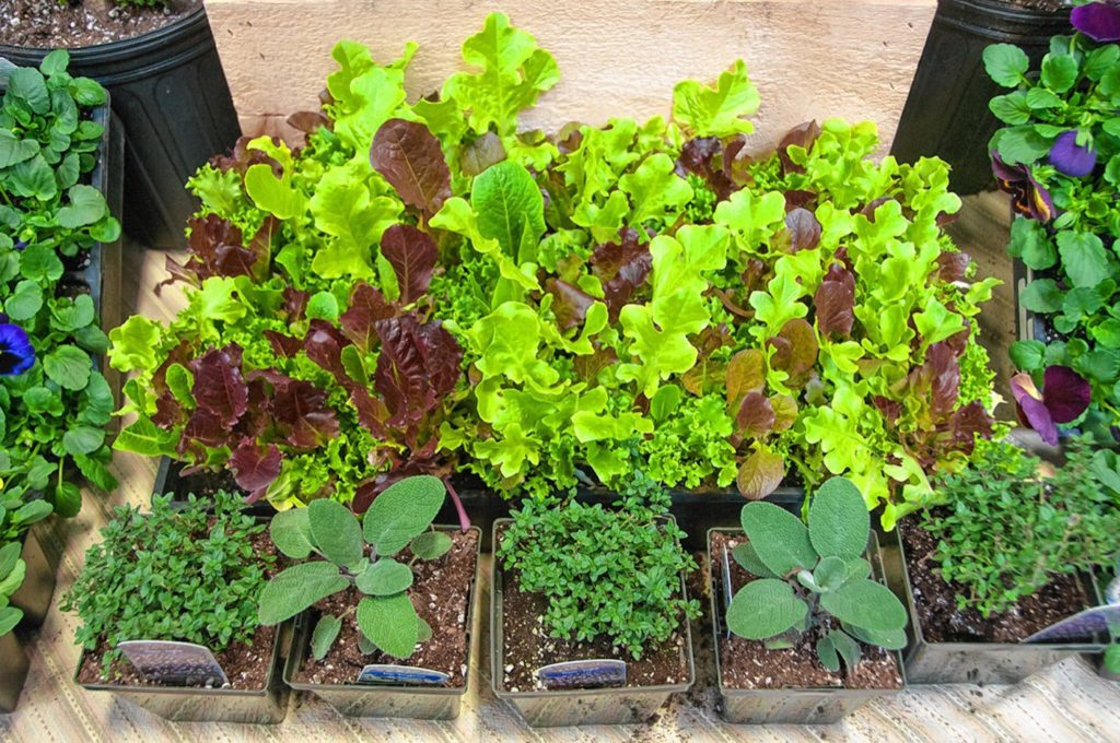 Herbs and lettuce at the Killdeer Farm display at Flavors of the Valley in 2015.  4-12-2015  Medora Hebert