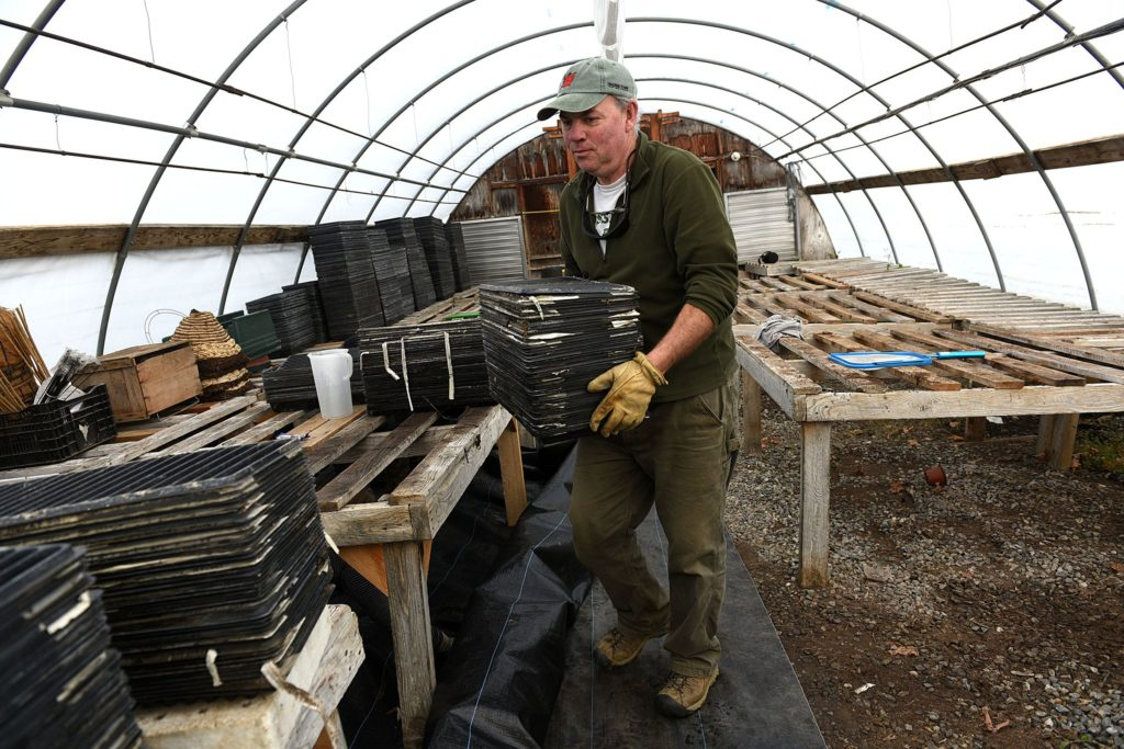 Tim Taylor,of Crossroad Farm in Post Mills, Vt. works in one of the farm's greenhouses on Dec. 1, 2016. (Valley News - Jennifer Hauck) Copyright Valley News. May not be reprinted or used online without permission. Send requests to permission@vnews.com.