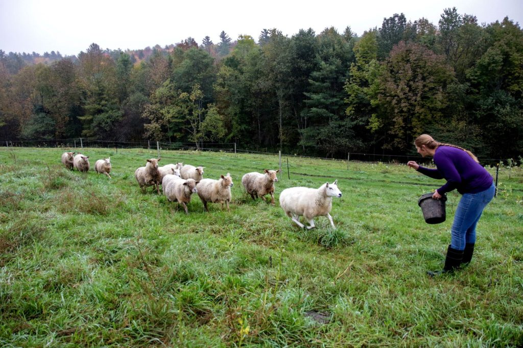 The sheep of Many Summers Farm come running as Heather Gallagher arrives with their feed during her morning chores in Cornish, N.H., on Monday, Oct. 8, 2018. (Valley News - August Frank) Copyright Valley News. May not be reprinted or used online without permission. Send requests to permission@vnews.com.