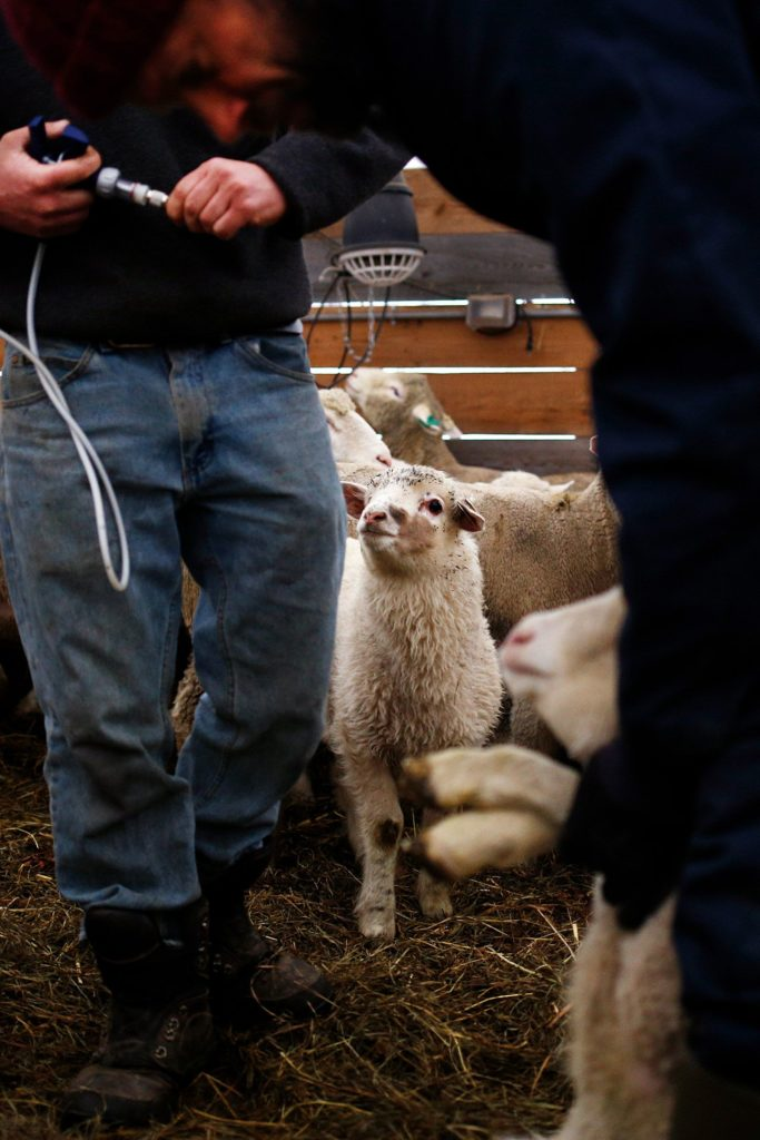 A lamb watches as animal manager Chris Bonasia, left, and owner Chuck Wooster vaccinate lambs against tetanus and other bacterial infections at Sunrise Farm in White River Junction, Vt., on Monday, April 8, 2019. Out of over 100 lambs on the farm, 40 of them will be slaughtered each year. (Valley News - Joseph Ressler) Copyright Valley News. May not be reprinted or used online without permission. Send requests to permission@vnews.com.