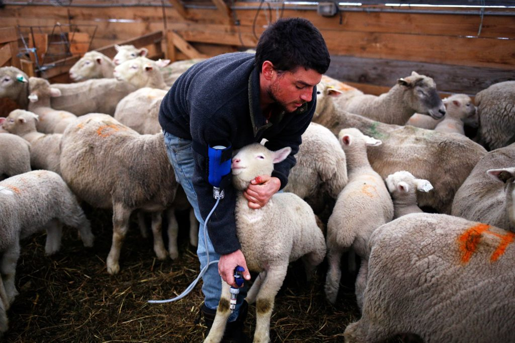 Animal manager Chris Bonasia grabs a lamb to vaccinate at Sunrise Farm in White River Junction, Vt., on Monday, April 8, 2019. Bonasia spent about half an hour injecting the roughly 125 lambs, a routine that occurs twice a year. (Valley News - Joseph Ressler) Copyright Valley News. May not be reprinted or used online without permission. Send requests to permission@vnews.com.