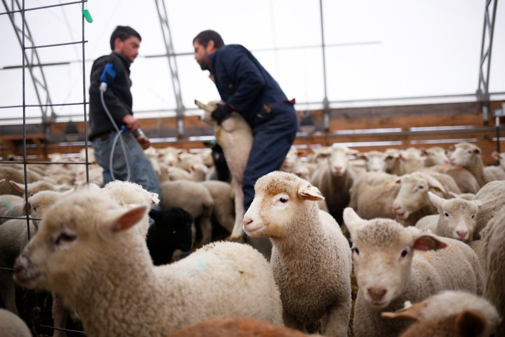 Animal manager Chris Bonasia, left, and owner Chuck Wooster vaccinate lambs against tetanus and other bacterial infections at Sunrise Farm in White River Junction, Vt., on Monday, April 8, 2019. Bonasia administered the injection and Wooster marked the lamb with colored chalk. (Valley News - Joseph Ressler) Copyright Valley News. May not be reprinted or used online without permission. Send requests to permission@vnews.com.