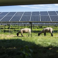 'Lambscapers' on the job at Massachusetts solar farm