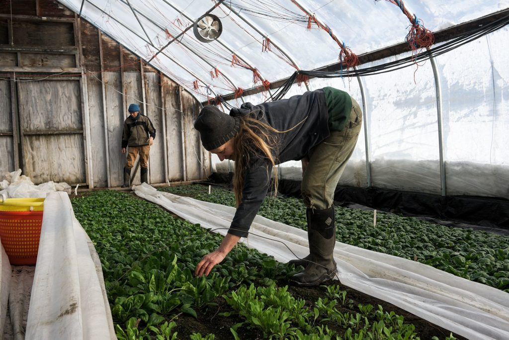 Suzanne Long and Tim Sanford of Luna Bleu Farm in Royalton, Vt., check on a bed of spinach after uncovering it to soak up the short hours of daylight Thursday, Dec. 20, 2019. The greens remain covered for much of the day to retain heat and moisture. (Valley News - James M. Patterson) Copyright Valley News. May not be reprinted or used online without permission. Send requests to permission@vnews.com.