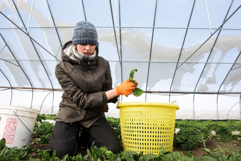 Emily Boles picks spinach at Luna Bleu Farm in Royalton, Vt., Thursday, Dec. 19, 2019, in preparation for a weekend farmers market in Norwich. A first crop of greens is planted in late September and early October and a second in late February and early March. Farmer Suzanne Long said this timing is key for allowing the plants to mature enough to produce while growing more slowly in the cold temperatures. (Valley News - James M. Patterson) Copyright Valley News. May not be reprinted or used online without permission. Send requests to permission@vnews.com.