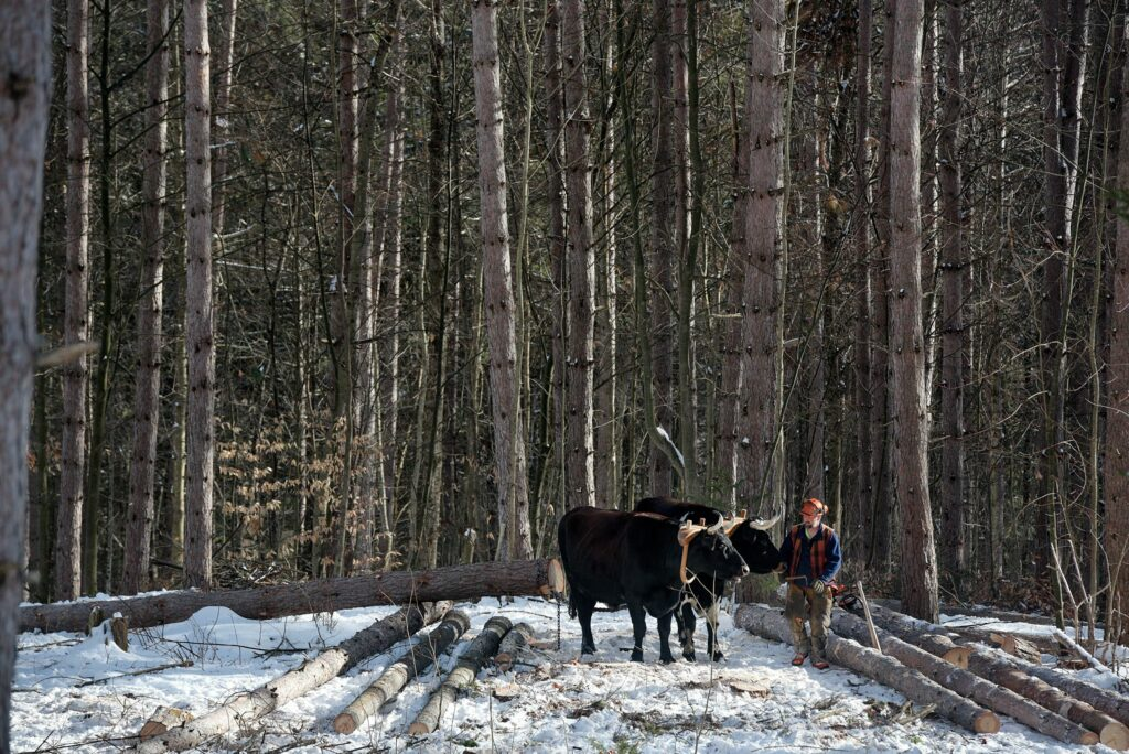 Carl Russell works with his oxen Lucky, left, and Marvelous, right, to clear a stand of red and white pines for pasture on his family's Bethel Gilead, Vt., land Thursday, Jan 7, 2021. Russell, who also works with horses, moved logs cut by his daughter Tuilelaith Nepveu-McCrory on the site. (Valley News - James M. Patterson) Copyright Valley News. May not be reprinted or used online without permission. Send requests to permission@vnews.com.